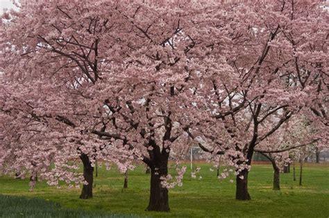 okame cherry blossom tree for sale the tree center