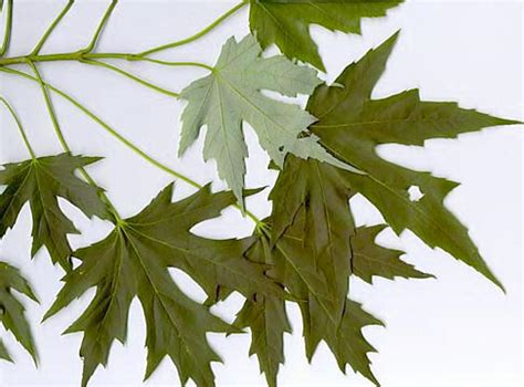maple tree species how to identify maple trees waterford citizens association wca of waterford virginia