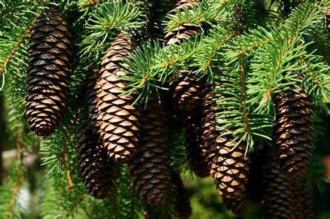 with pine cones file pine cones 777 jpg