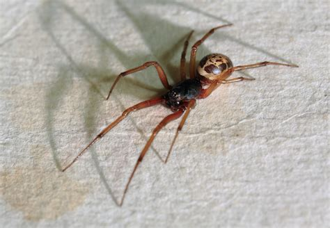 Garden Spider False Widow As False Widow Spiders Spread Here S How To Spot One And