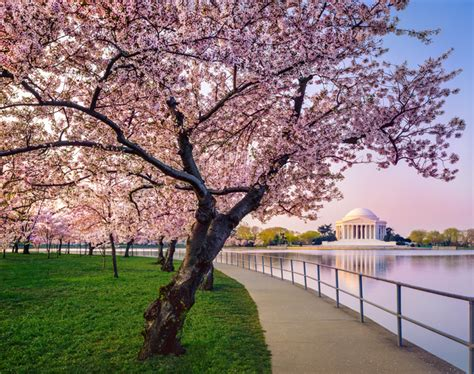 dupont the st gregory hotel celebrates the national cherry blossom festival s 90th anniversary