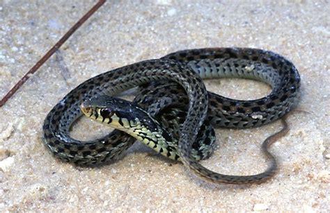Garden Snake Florida Gc4bg64 Dwt Garter Snake Traditional Cache In Florida