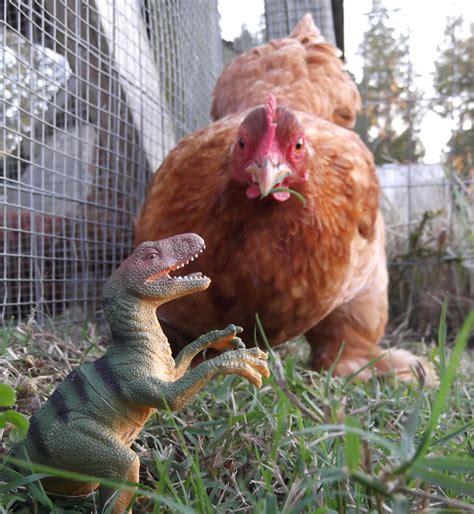 my backyard chickens chicken dinosaurs in my backyard my pet chicken