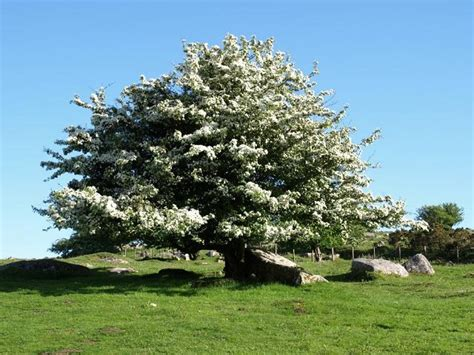 hawthorne tree hawthorn trees here s a hawthorn tree with white b