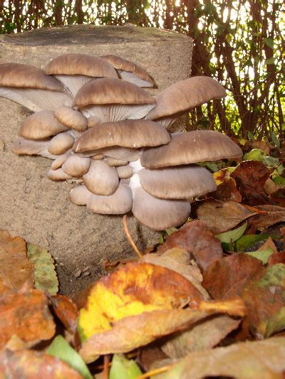 Pilze Im Garten Züchten by Pilze Im Garten Z 252 Chten