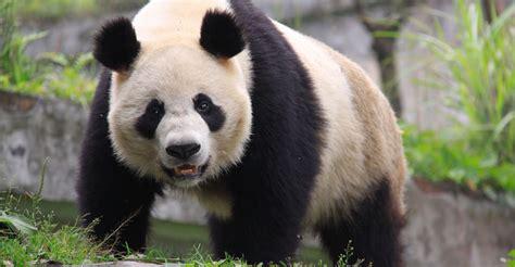 panda china panda publish with glogster