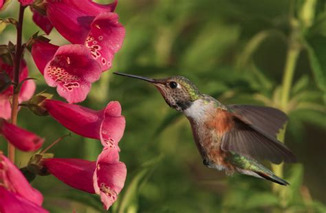 hummingbird plant the ultimate dining guide for hummingbirds garden
