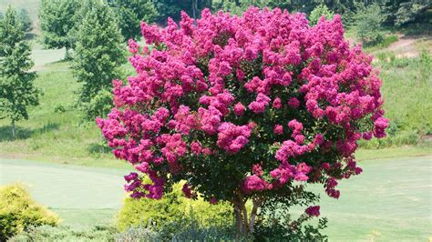 small flowering trees for small gardens small flowering trees for small gardens flowering trees