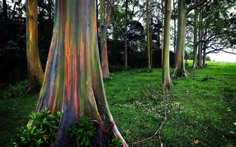 rainbow tree the 18 most beautiful trees in the world