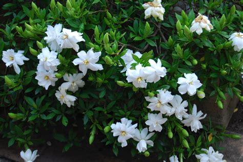 Gardenia Bush Gardinia Radicans Hello Hello Plants Garden Supplies