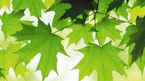 wallpaper 1920x1080 leaves maple green hd 1080p hd background