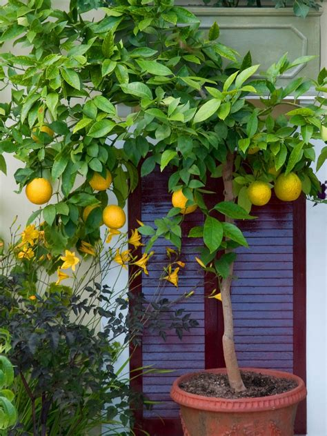 how to pot a tree grow in pots citrus trees hgtv