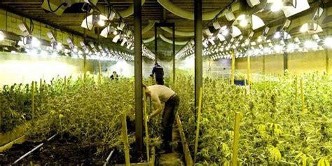 belgique le cannabis une culture en plein essor proposez vos news cannaweed