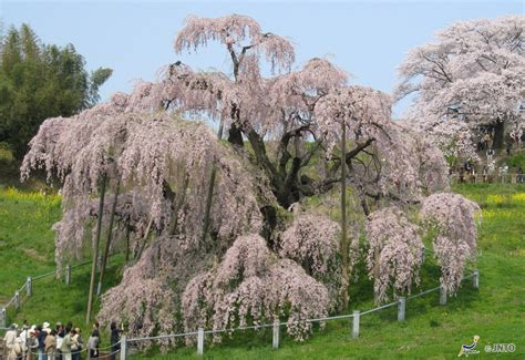 the cherry blossoms of japan swain destinations travel