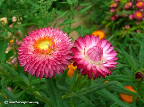 pictures of flowers strawflowers picture 11