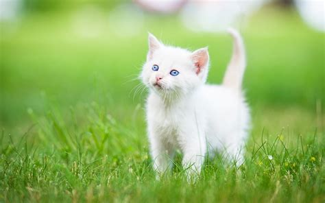 Cat Wallpaper by Kitten Grass White Hd Cat Wallpaper