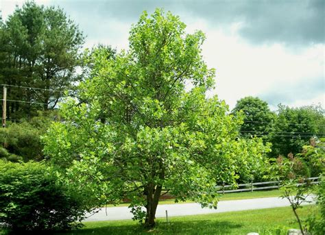 tulip tree best trees to plant 10 options for the