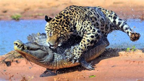 of animals animal attacks most spectacular animals