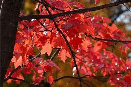 acer freemanii autumn blaze maple trees ashridge nurseries