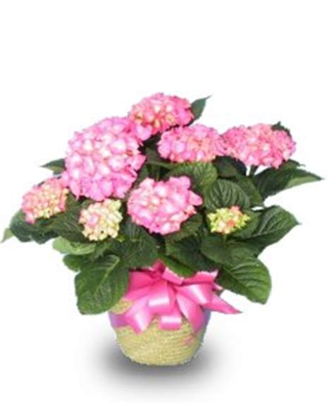 hydrangea rubber st brookline florists flowers and creative gifts fresh
