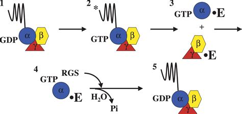 protein g g protein coupled receptors images