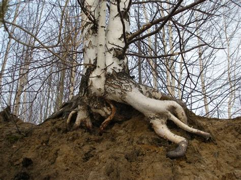cool tree silentowl celtic tree zodiac this is just a bit of