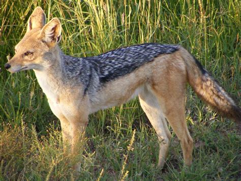 of animals picture 5 of 8 jackal canis aureus pictures images