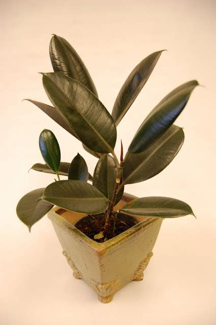 high hopes rubber sts the indoor garden high hopes for growing a rubber tree