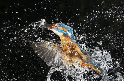 what are water made out of images of kingfishers snatching fish after swooping into a