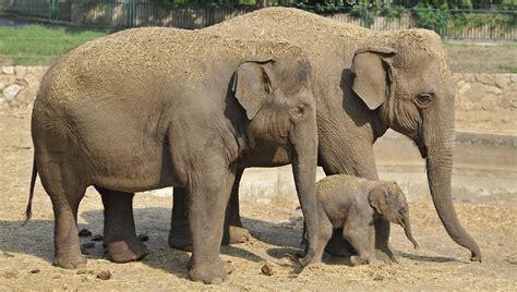 World welcomes Israeli born Asian elephant calf   ISRAEL21c