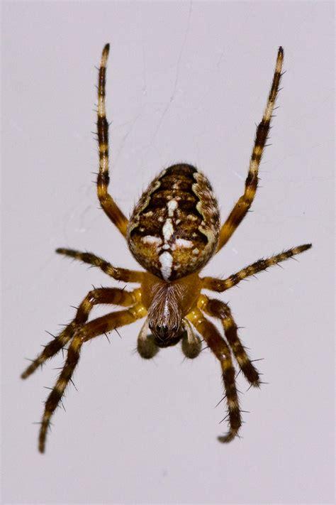 Garden Spider Photos File Araneus Diadematus European Garden Spider 001 Jpg