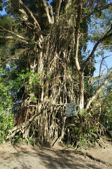 our philippine trees the mystic balete tree of baler