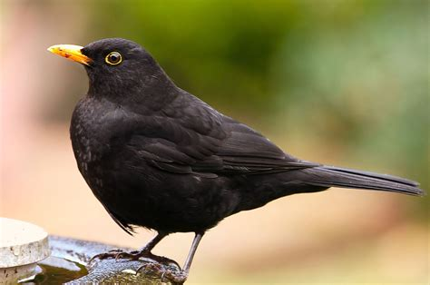 black bird file common blackbird by david friel jpg