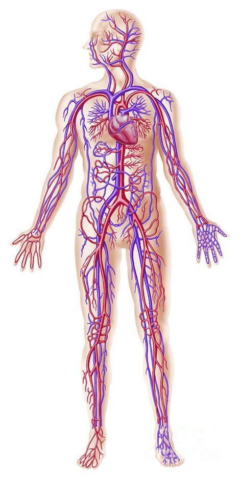 Home Decor Canvas Art anatomy of human circulatory system digital art by