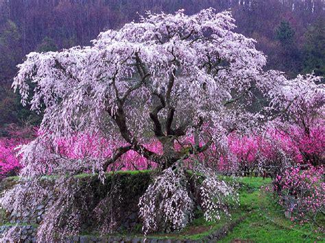7 cherry tree wallpapers cherry tree