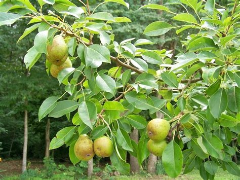 pear tree my journey to mindfulness pear tree