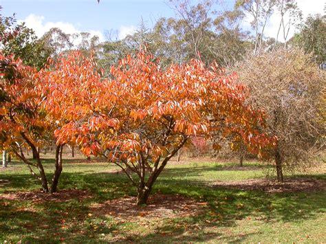 mt fuji cherry tree nz autumn in the garden