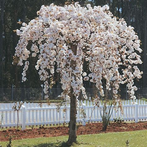cherry tree nz reviews weeping cherry nz search in the garden gardens garden ideas and plants