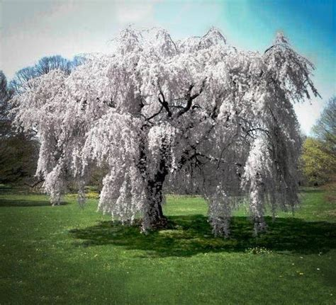 cherry tree weeping buy white weeping cherry trees the tree center