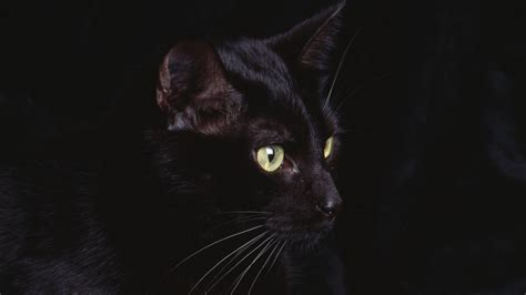 cat black 50 free hd cat wallpapers
