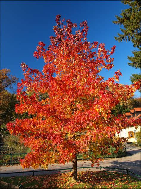 maple tree information autumn blaze maple facts