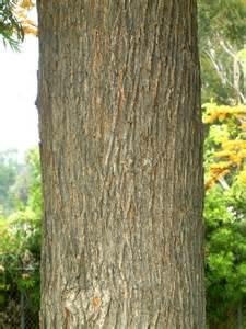 oak tree rubber st la trees los angeles affair