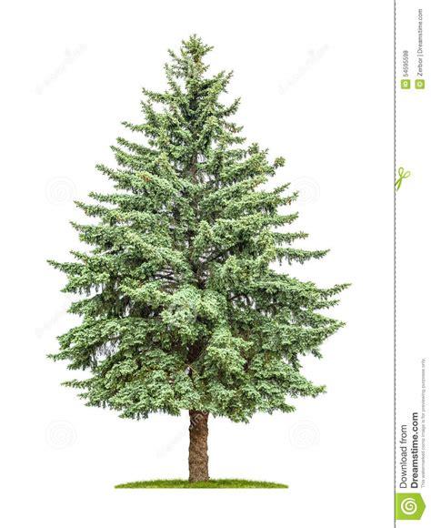 tree on white background pine tree on a white background stock photo image 54595598
