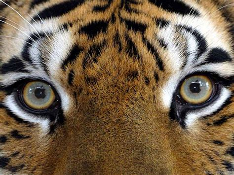 tiger eye wildlife photography images tiger s hd wallpaper and
