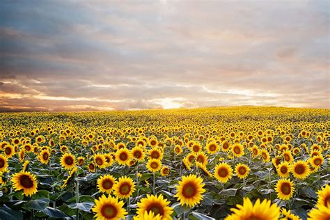 sunflowers in kansas the best 28 images of sunflowers in kansas kansas