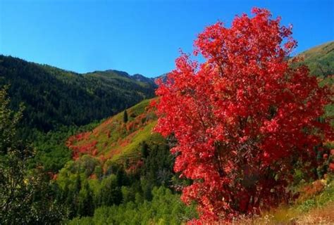 maple tree colorado 19 best images about top trees to plant in durango and sw colorado on trees utah
