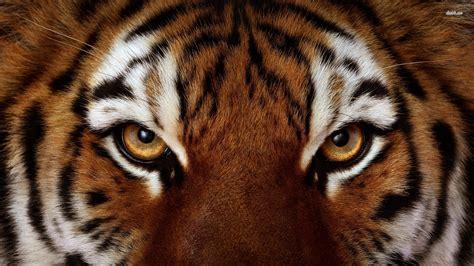 tigers eye best tiger eye photos 2017 blue maize