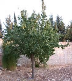 pear tree file pear tree jpg