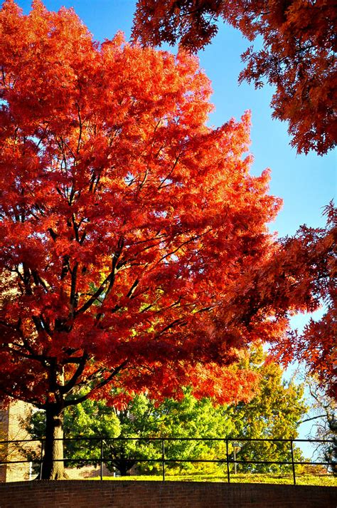 trees in the sale scarlet oak tree for sale the tree center