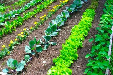 raised rows vegetable garden vegetable garden layout rows square foot or